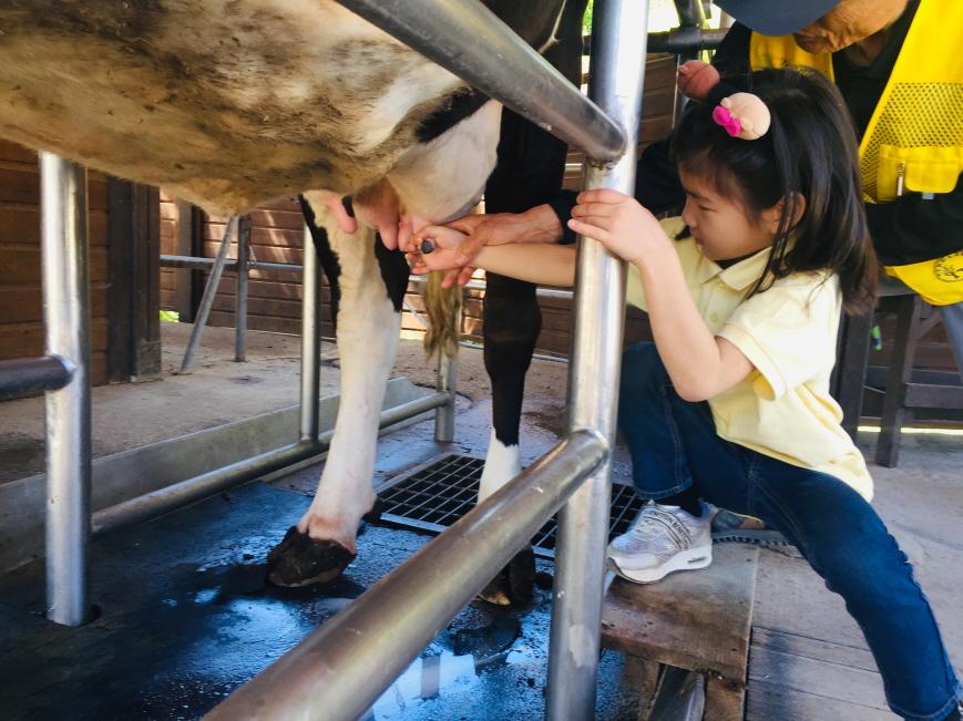 [1-2 현장체험]소젖짜기 (5).JPG